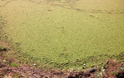 Removing Algae and Duckweed from dams
